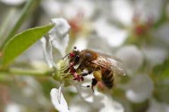 Honeybee harvesting pollen Stock Image