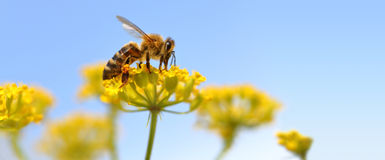 Honeybee harvesting pollen. From blooming flowers royalty free stock image