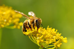 Honeybee harvesting pollen Stock Image
