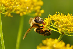 Honeybee harvesting pollen Royalty Free Stock Images