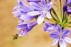Honeybee harvesting pollen from blooming flowers Royalty Free Stock Photo