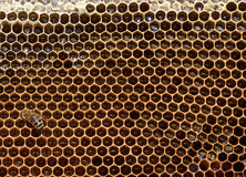 Honeybee on Honeycomb. Closeup of a honeycomb, filled with fresh honey, and sucking honeybee royalty free stock photos