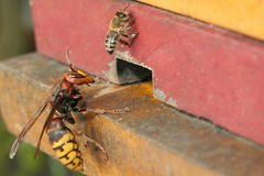 Honeybee and hornet. Hornet trying to enter in to the honeybee hive adobe RGB Royalty Free Stock Images