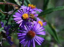 Honeybee Hovering Aster Royalty Free Stock Photo