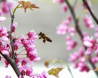 Honeybee hovering at flower royalty free stock photo