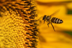 Honeybee Hovering Stock Photo
