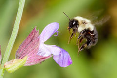 A honeybee hovering over a flower. Collecting pollen Royalty Free Stock Photo