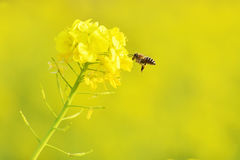 Honeybee hovering to collect honey from rapeseed flowers. Taken in a park of Tokyo Royalty Free Stock Image