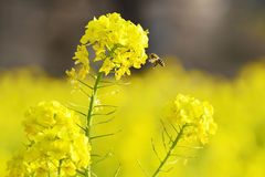 Honeybee hovering to collect honey from rapeseed flowers. Taken in a park of Tokyo Stock Image