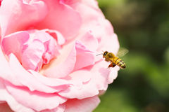 Honeybee hovering to collect honey from rose flowers. Taken in a park of Tokyo Stock Images
