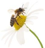Honeybee i biały kwiat obraz royalty free