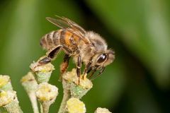 Honeybee on Ivy Flower. Honeybee - Apis mellifera - on an ivy flower stock photo