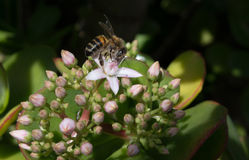 Honeybee on a Jade Plant Stock Photography