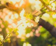 Honeybee latanie przy kwiatonośnym czereśniowym drzewem Fotografia Royalty Free