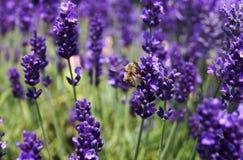 Honeybee Stock Photo