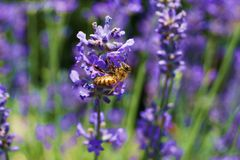 Honeybee Royalty Free Stock Photos