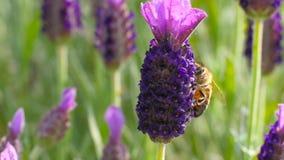 Honeybee on lavender stock footage