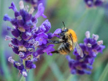 Honeybee on Lavender Stock Images