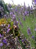 Honeybee in the lavender Stock Photos