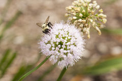 Honeybee on a Lavender Allium Blossom Stock Photography