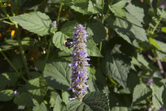 Honeybee on a Lavender Hyssop royalty free stock images