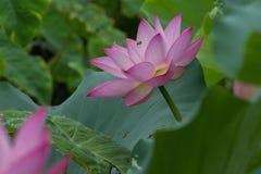Honeybee and lotus flower stock images