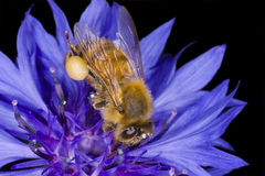Honeybee Macro Royalty Free Stock Photo
