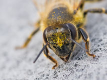 Honeybee macro. Honeybee extreme macro closeup portrait, with hairy eyes and flower pollen on her head and body stock image