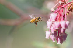 Honeybee and Manzanita Flower Stock Images
