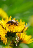 Honeybee on meadow Royalty Free Stock Photography