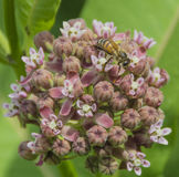 North American Honeybee Stock Photos