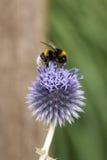 Honeybee na allium Fotografia Royalty Free