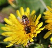 Honeybee na dandelion zdjęcia stock
