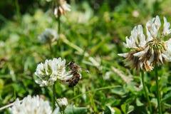 Honeybee na koniczynie Fotografia Stock