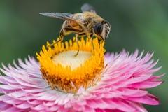 Honeybee na kwiacie obrazy royalty free