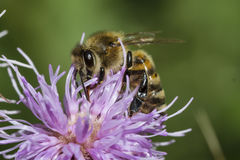 Honeybee na różowym osecie zdjęcia royalty free