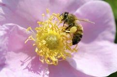 Honeybee Na Wzrastał obrazy royalty free