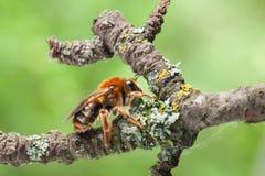 Honeybee on old tree twig Royalty Free Stock Photo