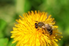 Honeybee On A Dandelion Stock Photos