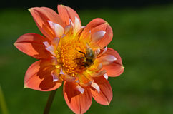 Honeybee on orange dahlia Stock Photo