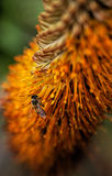 Honeybee on orange flower II Stock Image
