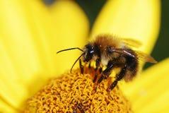Honeybee på blomma Arkivfoto