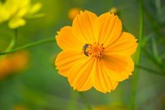Honeybee på blomma Fotografering för Bildbyråer