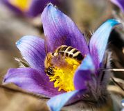 Honeybee on pasqueflower Stock Photo