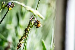 Honeybee Perched on Flower in Closeup Photography Royalty Free Stock Images