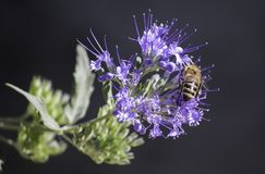 Honeybee Perched on Purple Petaled Flower Closeup Photography Stock Photos