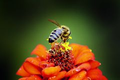 Honeybee Perched on Red Petaled Flower in Closeup Photography Stock Photo