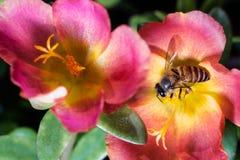 Honeybee Royalty Free Stock Image