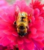 Honeybee on pink flower royalty free stock image