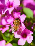 HONEYBEE ON PINK FLOWER. Apis mellifera collecting pollen on the inside of a pink flower in the spring Stock Photos